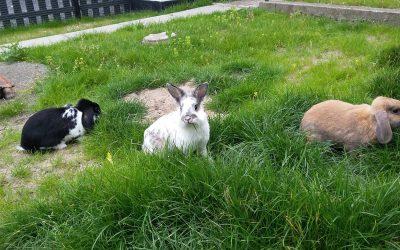 Kaniner bør ikke leve alene