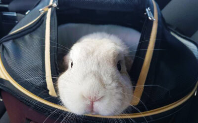 At transportere kaniner