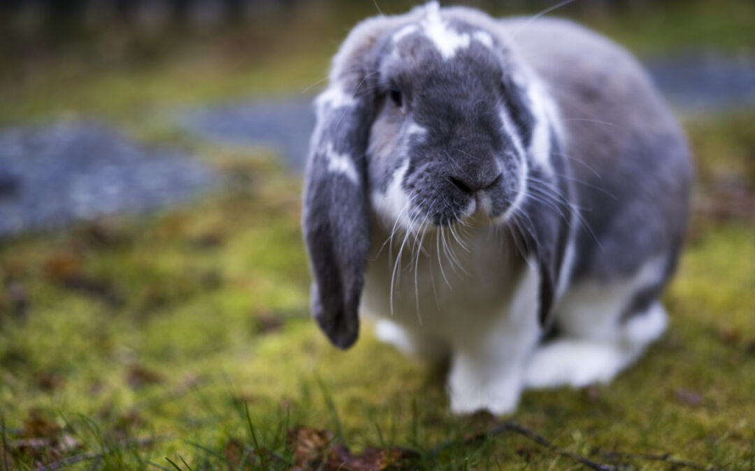 Kaninværnet introducerer Skipper!