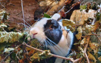 Kaninværnet siger velkommen til Bertil & Bertram