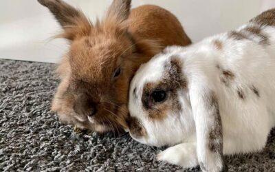 Kaninværnet siger velkommen til Yuki & Kaki
