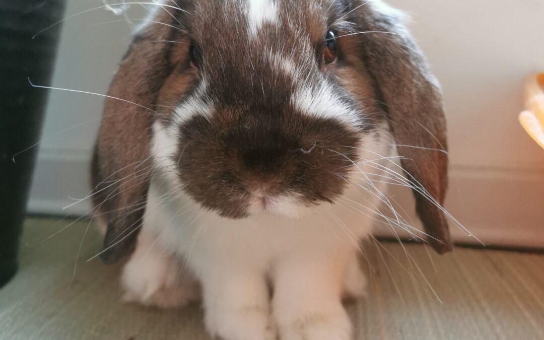 Kaninværnet siger velkommen til Hugo